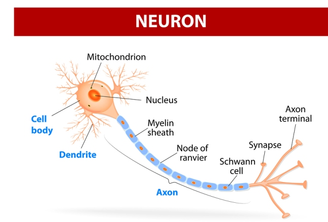 Anatomy of a typical human neuron
